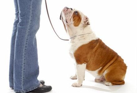 Wie Sie Ihrem Hund Gehörsam trainieren können - Foto Hund an Leine.