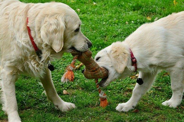 Hunde spielen mit Hundespielzeug.