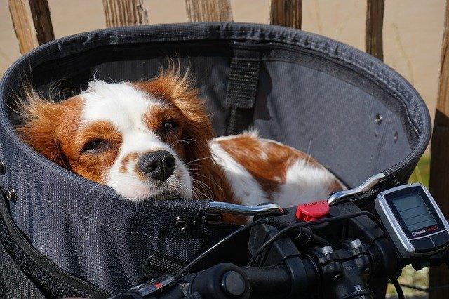 Fahrrad fahren mit dem Hund - für die Kleineren darf es auch ein Körbchen sein. Foto von Hund im Körbchen am Fahrrad.