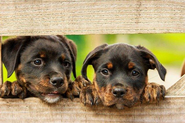 Vier-Pfoten-Ratgeber: Alles Wissenswerte VOR der Anschaffung eines Hundes - zwei Welpen schauen durch einen Zaun