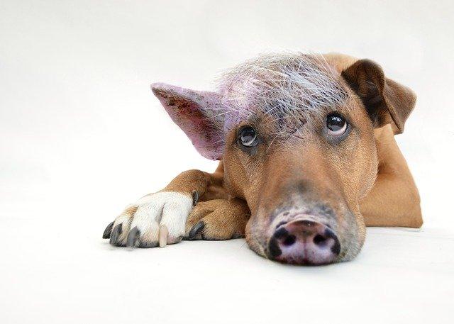 Schweinehund oder doch Nackthund?