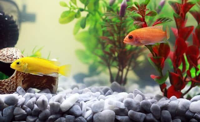Eierlegende Fische im Aquarium