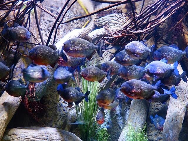 Piranhas im Aquarium.
