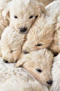 Welpenmafia: Viel zu jung, meist mit 5 oder 6 Wochen, manche aber auch noch jünger, werden die Welpen den Müttern entrissen. Diese Tortur überstehen viele der hilflosen Tiere nicht.