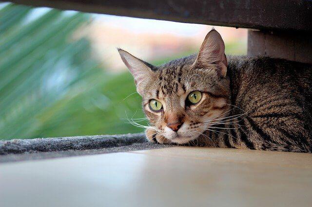 Coronavirus bei Katzen - Es tragen mehr Katzen in sich, als man bisher dachte.