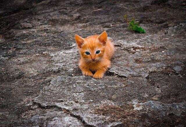 Felines Coronavirus - Es tragen mehr Katzen in sich, als man glauben mag.
