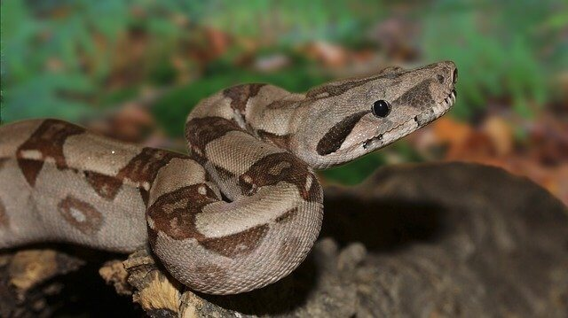Boa: Alles über die Haltung der Schlange.