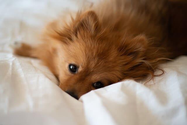 Hund pinkelt ins Bett.