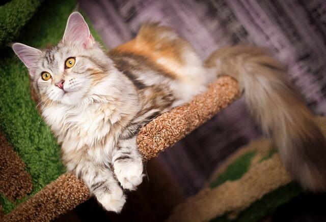 Kratzbaum für große Katzen: Der XXL Kratzbaum. Main Coon schläft auf XXL Kratzbaum.