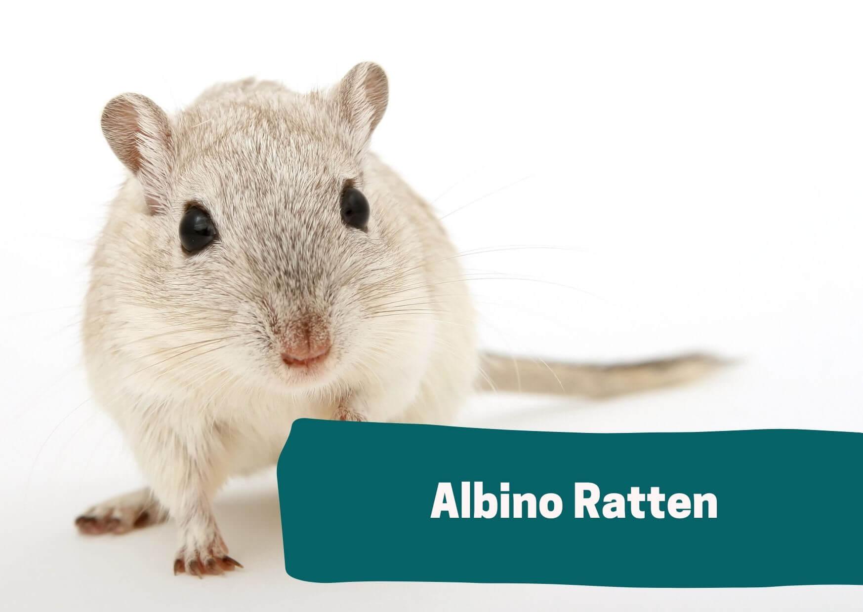 Foto einer Albino Ratte.