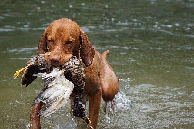 Ein Jagdhund bringt seine Beute.