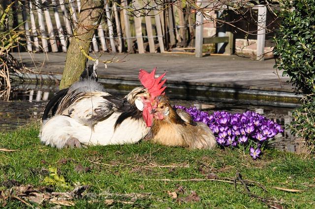 Zwei glückliche Hühner neben ihrem Hühnerstall.