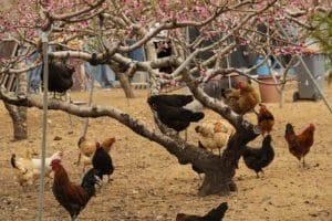 Freilaufende Hühner sind glückliche Hühner. Doch für ihre Unterbringung solltest du trotzdem einen artgerechten Hühnerstall kaufen.