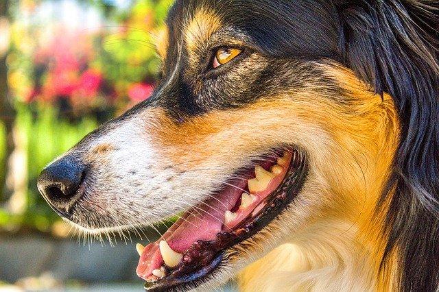Ein Hund zeigt seine Zähne.