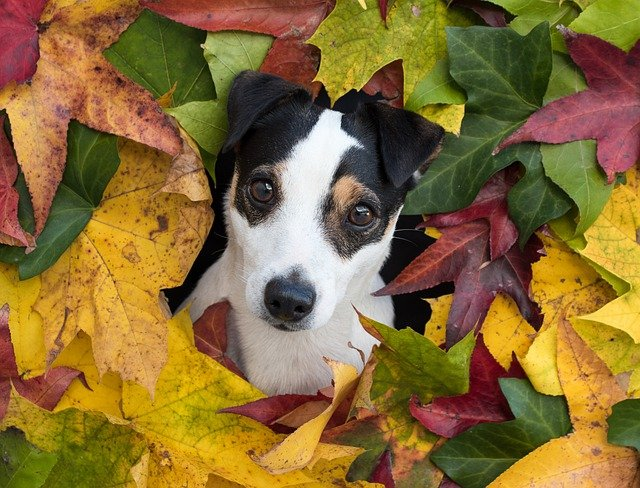 Foto eines Jack Russell Terrier.